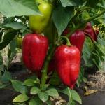 Практические советы: как вырастить болгарский перец без лишних трудностей
