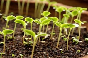Янтарная кислота очень хорошо влияет на растение