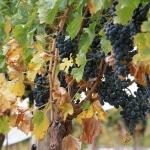 Удобрения для винограда: немного о главном