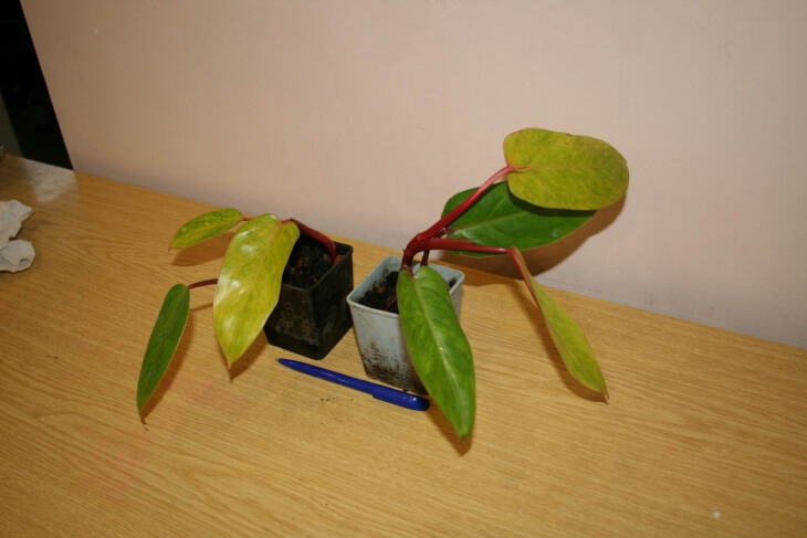 Филодендрон является тропическим растением