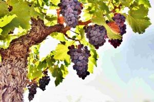 Плодоносящий виноград