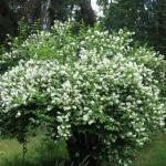 Популярные сорта чубушника: описание и советы по выращиванию