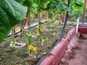 Пучковые огурцы очень любят садоводы
