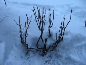 zimoj-vinograd-dolzhen-byt-horosho-pokryt-snegom