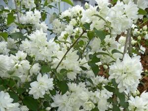 Цветение обычно начинается с середины августа