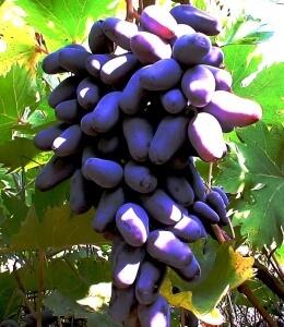 Некоторые сорта винограда устойчивы к различным вредителям
