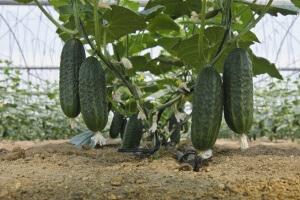 Урожай можно получить в короткие сроки