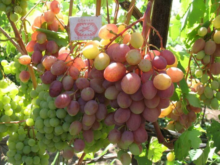 Виноград нужно поливать регулярно, но при этом соблюдать меру и не перелить кусты