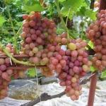 Виноград Румба: особенности сорта