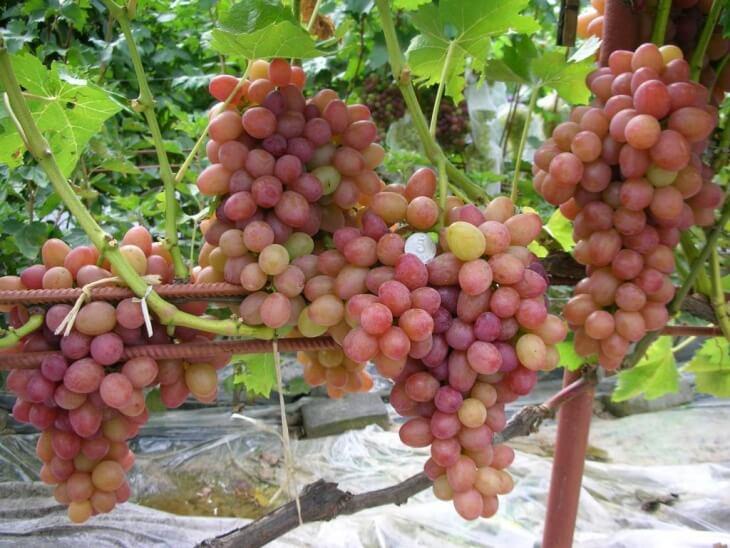 Данный виноград имеет очень большие грозди