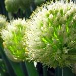 Апрельский лук-батун: правила выращивания