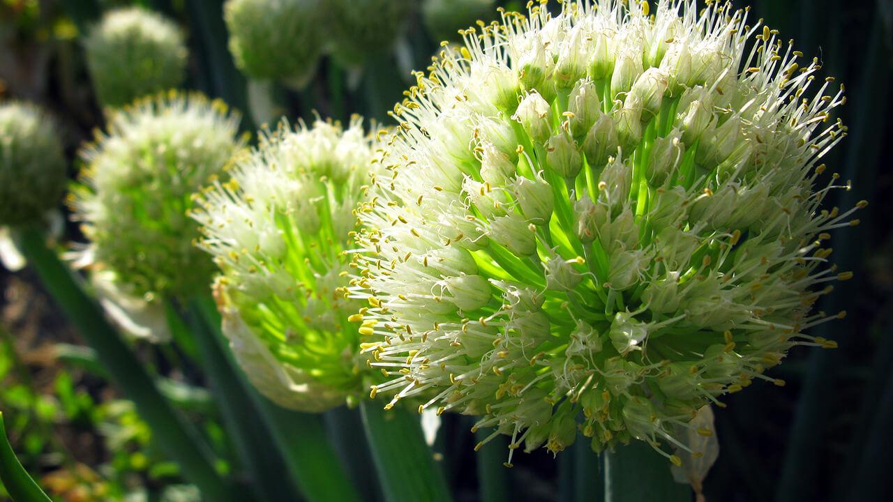 Апрельский лук-батун — правила выращивания