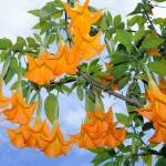 Бругмансия цветок: выращивание, уход