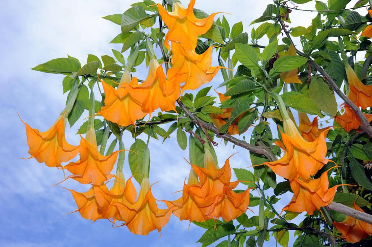 Цветы бругмансия посадка и уход