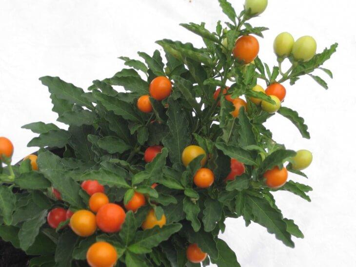 Паслен - это многолетнее растение