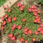 Портулак: красочный ковер из цветов на клумбе