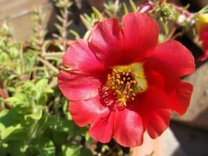 Цветок портулака махрового