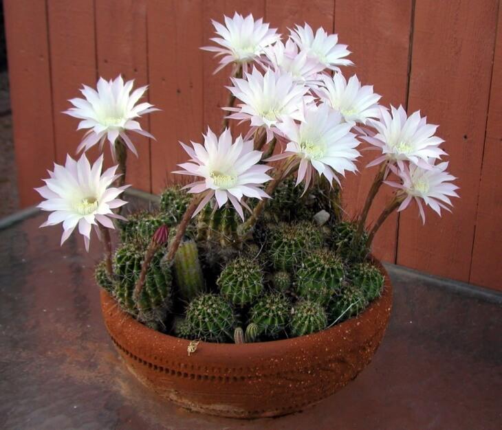 Период покоя у кактусов наступает зимой