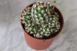 Как вырастить мини-кактусы: особенности и правила ухода