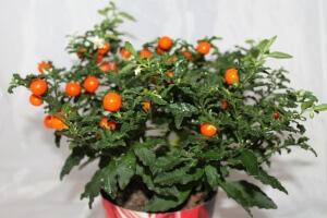 Для образования куста нужно прищипывать растение