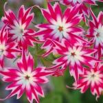 Неприхотливые цветы для дачи: их сорта