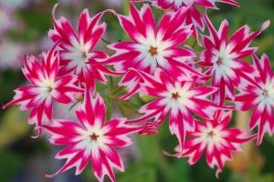 Неприхотливые цветы очень хороши для садоводов