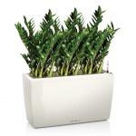 Замиокулькас – живое растение с восковыми листьями: его размножение