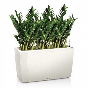 Замиокулькас - это крупное вечнозеленое растение