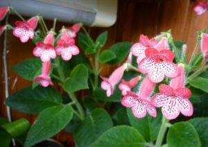 В зимний период растение перестает цвести