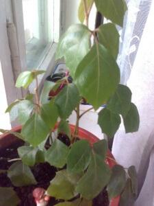 Все растение покрыто очень мелкими волосками