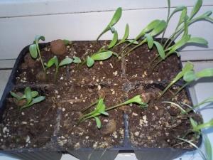 Чтобы вырастить рассаду, нужно сеять семена в апреле