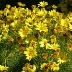 Кореопсис многолетний: советы по посадке и уходу для садоводов