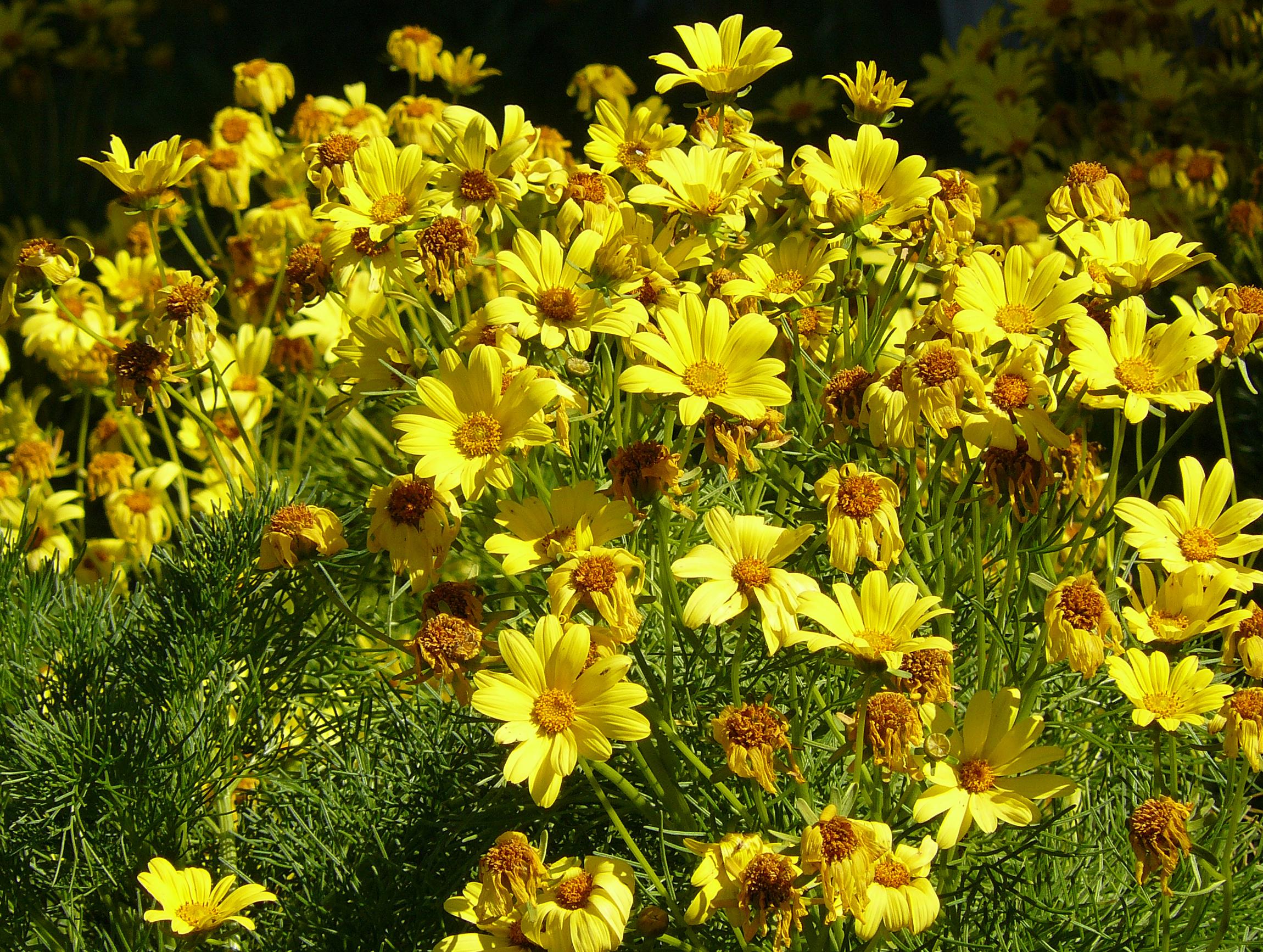 Кореопсис многолетний — советы по посадке и уходу для садоводов