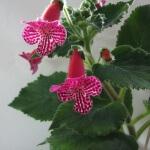 Калерия цветок: уход и размножение