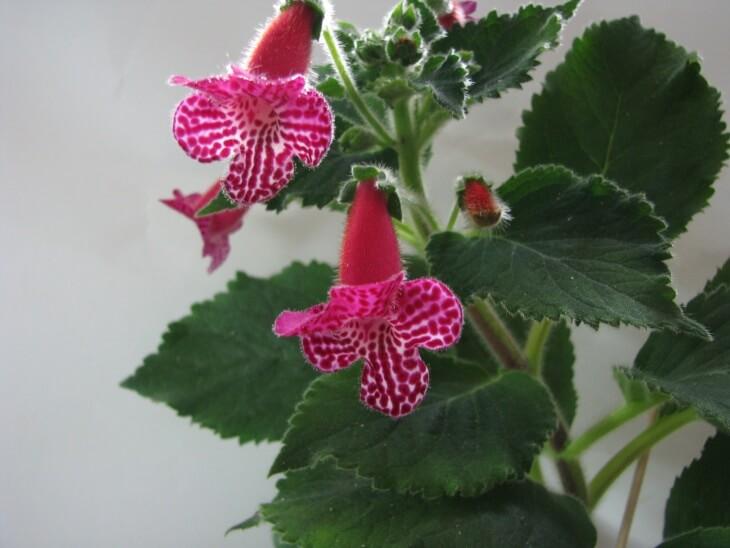 На листиках калерии расположены ворсинки, которые могут быть белыми или красными