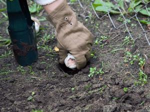 Луковицы меньше одного сантиметра лучше не использовать