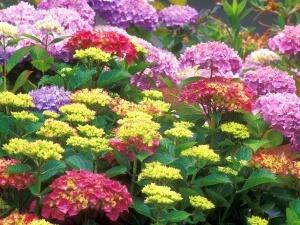 Астры бывают разных расцветок