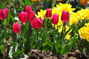 Тюльпаны - цветы, любящие рыхление и полив