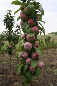 Следует подвязать ствол яблони
