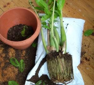 Чтобы не повредить корни, пересадка растения осуществляется методом перевалки