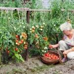 Посадка рассады помидор на дачном участке