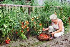 Помидоры - это однолетние растения