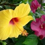 Гибискус семейства Мальвовых: уход и выращивание в саду и дома