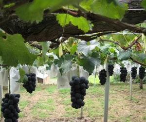 После посадки винограда не забудьте хорошо полить его