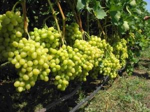 Как правильно посадить виноград весной на дачном участке?