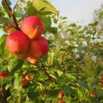 Прививка яблони на дичку: как правильно прививать культурное дерево