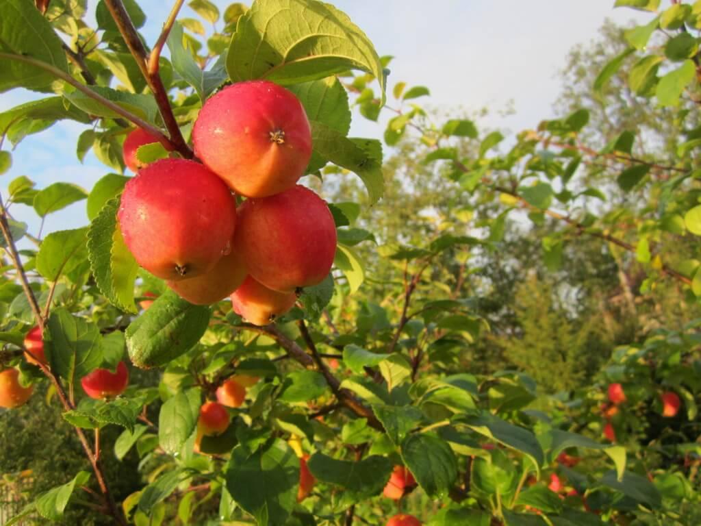 Прививка яблони на дичку — как правильно прививать культурное дерево