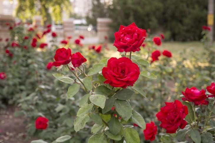 Продолжительность жизни роз весьма коротка