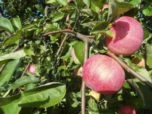 Прививка яблони - это достаточно просто