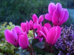 Как поливать цикламен и вырастить роскошный цветок